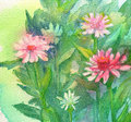 Watercolor pink flowers illustration of daisy Royalty Free Stock Photo