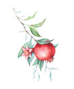 Watercolor pomegranate (garnet) branch