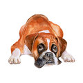 Watercolor portrait of fawn German, Deutscher boxer breed dog on white background. Hand drawn sweet pet Royalty Free Stock Photo