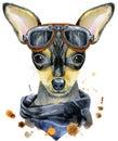 Watercolor portrait of toy terrier with biker sunglasses