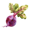 Watercolor raster illustration of beet.