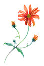 Watercolor red daisies branch with leaves.