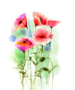 Watercolor red poppy flowers painting. Royalty Free Stock Photo