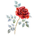 Watercolor red rose Royalty Free Stock Photo