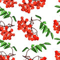 Watercolor rowan seamless pattern with bunches of on white background Royalty Free Stock Photos