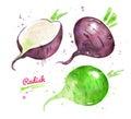 Watercolor set of green and black radish