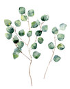 Watercolor silver dollar eucalyptus with round leaves and branches.