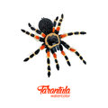 Watercolor spider tarantula Royalty Free Stock Photo
