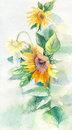 Watercolor sunflowers suitable for poster, postcard, print, cove