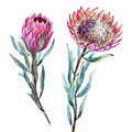 Watercolor tropical flower protea