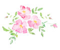 Watercolor wild rose - hand drawn illustration Royalty Free Stock Photo