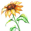 Watercolor yellow sun sunflower flower single Royalty Free Stock Photo
