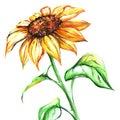 Watercolor yellow sun sunflower flower single Royalty Free Stock Photo