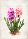 Watercolored hyacinth Stock Images