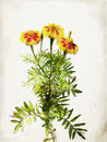 Watercolored yellow marigold Royalty Free Stock Images