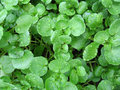 Watercress Royalty Free Stock Photography