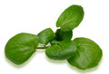 Watercress pictured in a white background Royalty Free Stock Image