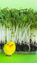 Watercress salad, spring, yellow toy chick Royalty Free Stock Image