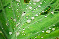 Waterdrop on the lotus leaf ,closeup Stock Photography