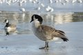 WATERFOWL - Canada Goose / Bernikla Royalty Free Stock Photo