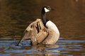 WATERFOWL - Canada Goose / Bernikla Stock Photos