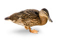 Waterfowl duck on a white background. Royalty Free Stock Photo
