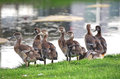 Waterfowl at foliage in Rotterdam, Netherlands Royalty Free Stock Photos