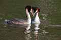 WATERFOWL - Great Crested Grebe Stock Photography