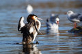 WATERFOWL - Great Crested Grebe Stock Photo