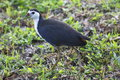 Waterhen water hen bird species on grass Royalty Free Stock Photos