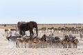 Waterhole ammucchiato con gli elefanti le zebre l antilope saltante e il orix Fotografia Stock