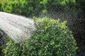 Watering, box tree Royalty Free Stock Photo