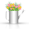 Watering can with tulips a metal colorful inside on white background spring concept Stock Photo