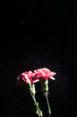 Watering carnations isolated on black Stock Images