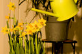 Watering daffodils easter flowers Royalty Free Stock Photography