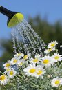Watering detail of can with pouring water and daisy flowers Royalty Free Stock Images