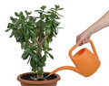 Watering dollar plant cutout Royalty Free Stock Image