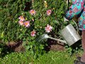 Watering flowers red from old metal can Royalty Free Stock Photography