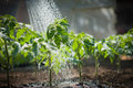 Watering seedling tomato Royalty Free Stock Image