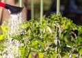 Watering seedling tomato in vegetable garden Royalty Free Stock Photo
