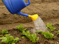 Watering of vegetable bed with rows of spinach Stock Images