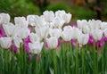 Zalievanie biely tulipán