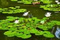 Waterlelie in vijver Stock Afbeelding
