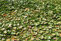 Waterlilies Royalty Free Stock Photo