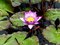 Waterlilies in Koi Pond Royalty Free Stock Photo