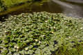 Waterlilies in a pond Royalty Free Stock Photo