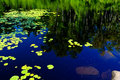 Waterlilies and reflecting birch Stock Photo