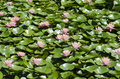 Waterlillies Royalty Free Stock Photo