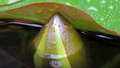 Waterlilly flowerbud in the rain pupping up under a leaf Royalty Free Stock Photography