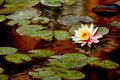 The waterlily Royalty Free Stock Photo